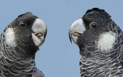 Cockatoo Care Explained