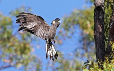 Free Black Cockatoo Walk & Talk