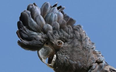 Free Black Cockatoo Workshop