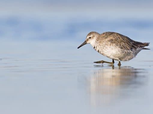 Free Shorebird Identification Workshop