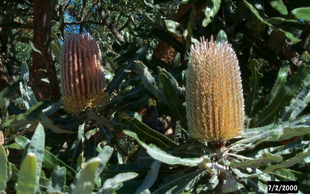 Banksia Woodlands