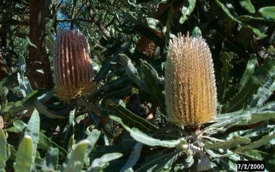 Banksia Woodlands