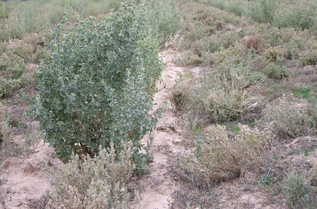 Saltbush Field Day
