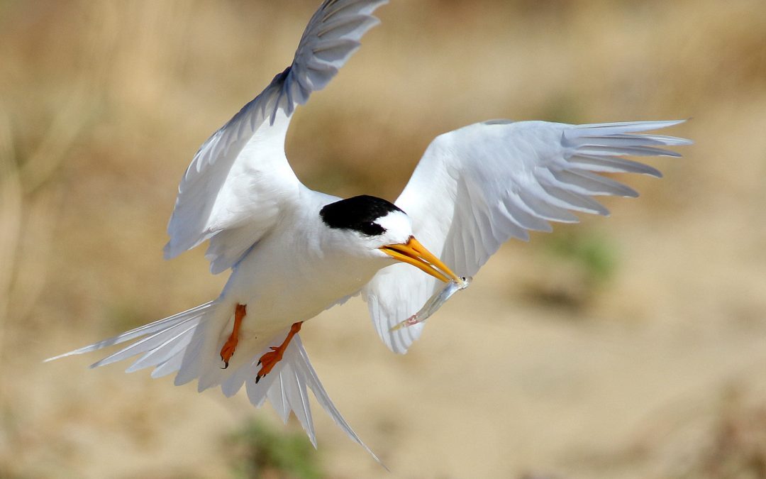 Fairy Tern Management Workshop