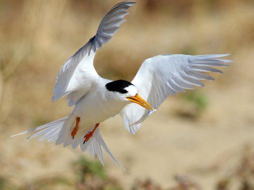 Fairy Tern Management Workshop