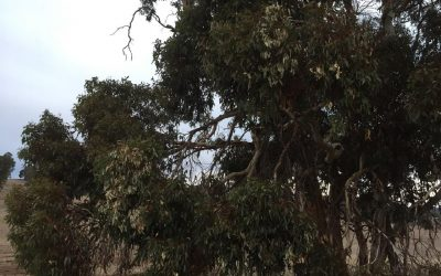 Wandoo Crown Decline and Lerp