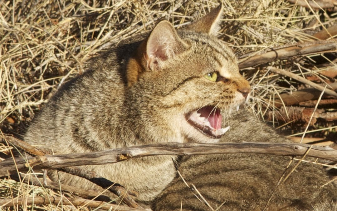 Collective effort to reduce devastation of native animals by cat predation