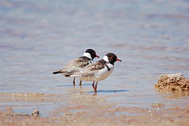 Dogs Off Lead in Shorebird Breeding Areas