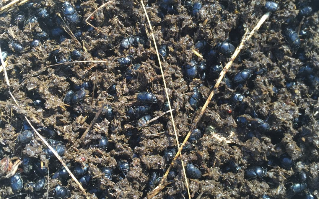 Dung Beetle Field Day