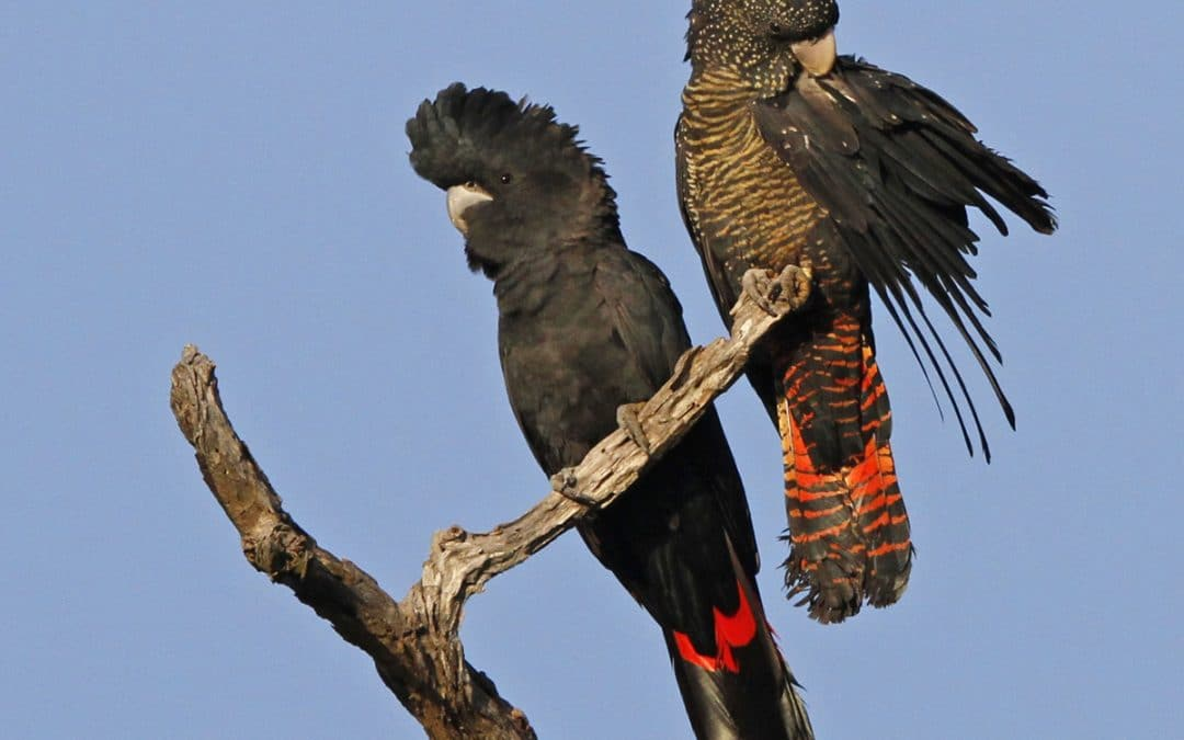 Black Cockatoo Nesting Season is upon us – What to look out for?