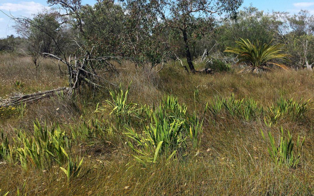 Watsonia being dealt a blow around the wetlands