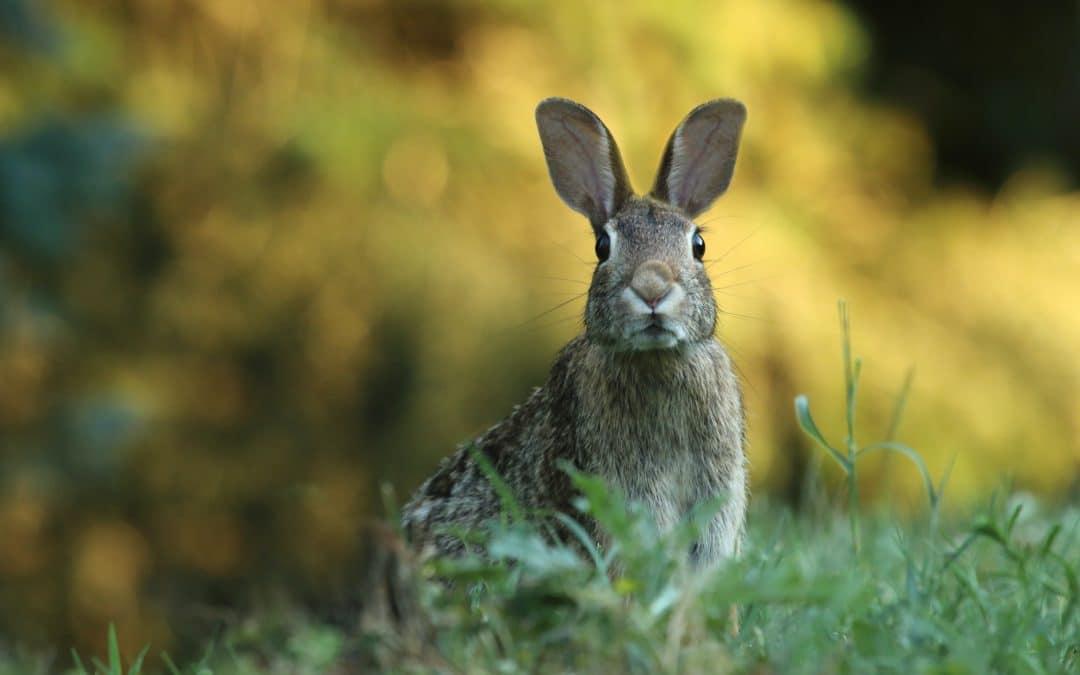 Rabbit Control for Lake Clifton