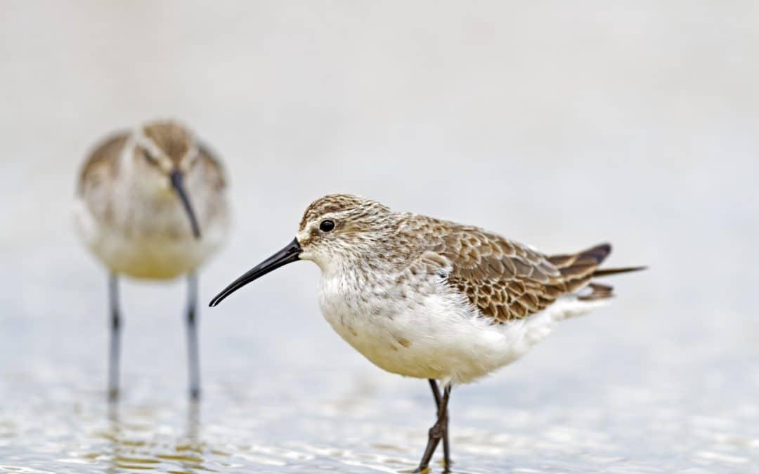 Introduction to Shorebird Identification Workshop