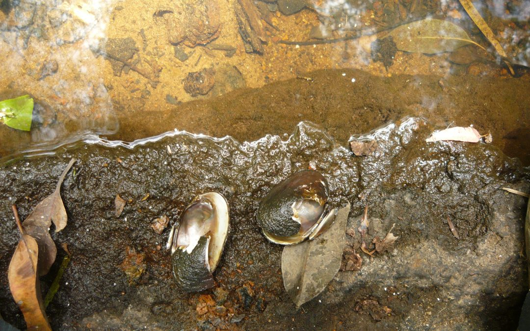 Carter's freshwater mussel