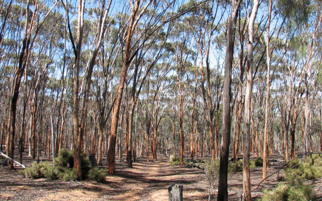 Eucalypt Woodlands of the Western Australian Wheatbelt
