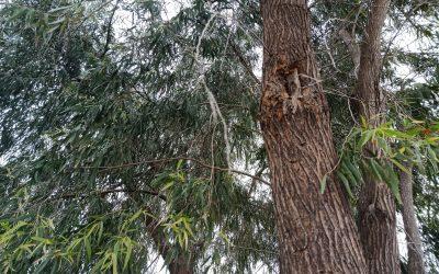 Lake Clifton Herron area Peppermint tree dieback